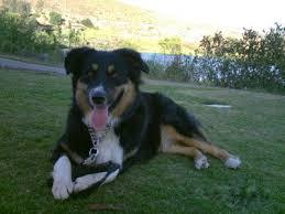 australian shepherd san diego how can i control my aussie u0027s fence fighting
