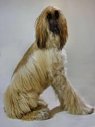 afghan hound national dog show afghan hound wikipedia