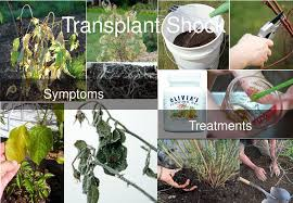 Transplant Fruit Trees - transplant shock symptoms and treatment