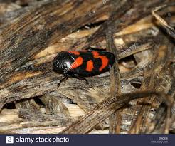 Pictures Of Tiny Red Bugs by Close Up Of The Tiny Black And Red Froghopper Or Spittlebug Stock
