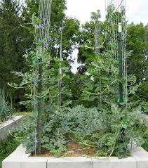 Growing Pumpkins On A Trellis Growing Watermelon On Trellises Abundant Mini Gardens