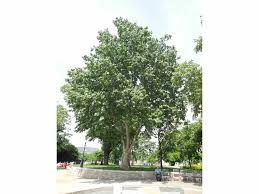 european tree of the year the most beautiful plane tree of the