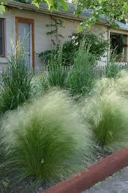 buy pony tails mexican feather grass for sale from wilson