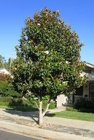 Tree With Little White Flowers - the 25 best magnolia trees ideas on pinterest trees to plant