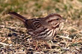 Sparrow by Sparrow Native Sparrows Wild Birds Unlimited Omaha Ne