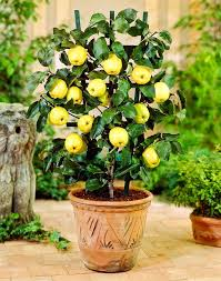 best fruits to grow in pots fruits for containers balcony