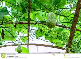 chayote growing on vine stock photo image 47754405