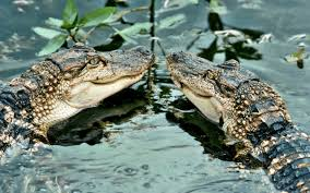 alligators water wallpaper and background