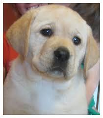 puppies indiana gregoire s labrador retrievers breeder indiana labs