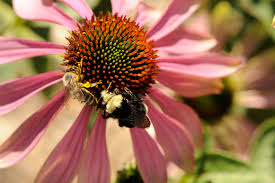ucr today managed bees spread and intensify diseases in wild bees