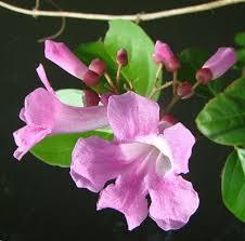 Purple Flower On A Vine - garlic vine propagation u2013 tips on growing a false garlic plant