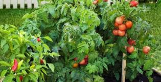 how to fertilize vegetable plants from the experts at wilson bros
