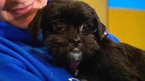 affenpinscher rescue seattle pet parade worcester animal rescue league cbs boston
