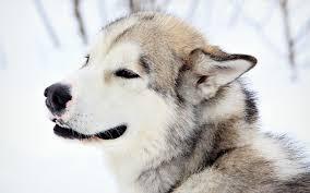alaskan malamute dogs animals