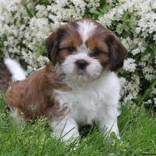 australian shepherd dachshund puppies for sale in pa find your perfect puppy at greenfield puppies