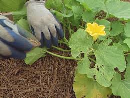 how to grow pumpkins how tos diy