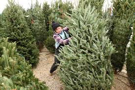 real christmas trees growers and retailers give thanks for buyers of real christmas