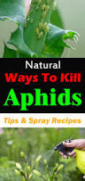 Plants That Repel Aphids by Natural Ways To Kill Aphids Tips And Spray Recipes