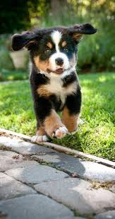australian shepherd male names best 25 australian shepherd names ideas on pinterest australian