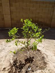 my first meyer lemon tree in the heat of arizona