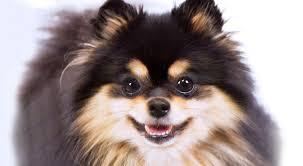 pomeranian x bichon frise sale pomeranian dog breed information american kennel club