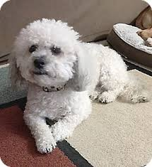 bichon frise and a shih tzu east hanover nj bichon frise meet milo a dog for adoption