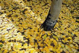 Colorado Photographers Aspen Leaves Trees Fall Colors Colorado Photographers