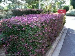 shepherdia argentea silver buffaloberry california loropetalum chinense hedging trees pinterest living fence