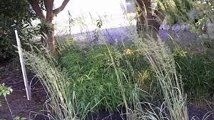 ornamental grass shade garden www winddancergarden