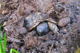 Tortoise Bedding Substrate Types For Tortoises Album On Imgur
