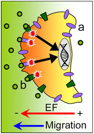 electrical dimensions in cell science journal of cell science