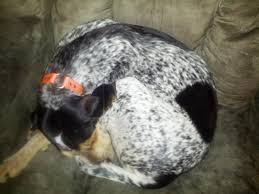 bluetick coonhound genetics is this ticking or something more complicated color genetics