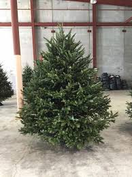 fraser fir christmas tree 11 ft fraser fir christmas tree with lights new orleans area
