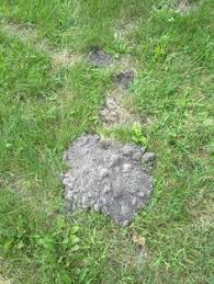 How To Get Rid Of Moles In The Backyard by How To Destroy Moles Related Post From How To Get Rid Of Moles