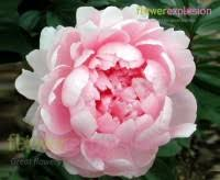 where to buy peonies buy poeny july poeny august poeny sptember bloom flower explosion