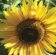 grow black oil sunflower seeds for your wild birds
