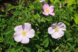 ontario native plants pasture rose ontario native plant nursery container grown