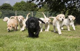 guide dog harness learn about puppy guide dogs in training dogbuddy blog
