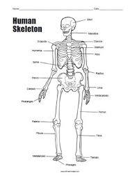human skeleton bones worksheet u2013 tenderness co