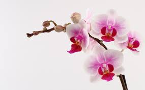 pink orchids diy orchid inspiration white orchids orchid and flowers