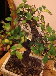 How To Revive A Plant How To Care For A Bonsai Tree If It Looks Yellow