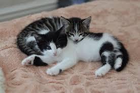 beautiful kittens 2 beautiful kittens looking for new home tunbridge wells kent