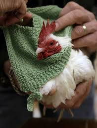 in a boston suburb they u0027re knitting sweaters for chickens