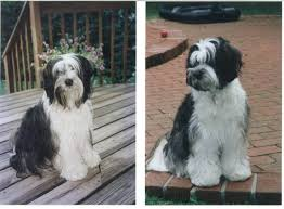 hair cuts for the tebelan terrier tibetan terrier photo 35