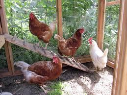 backyard chicken keeping gains momentum in anchorage alaska