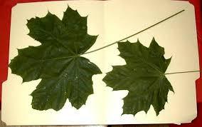 maple trees treated with biovam mycorrhiza