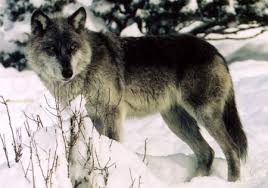 graywolfconservation com wolves of the