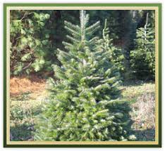 tree descriptions and interesting facts christmas trees abc
