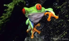 2018 eyed tree frog posters print photopaper 16 24 36 47