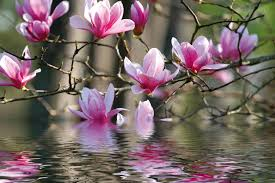 Magnolia Wallpaper Flowers Magnolia Reflection Flowers Pink Tree Beautiful Lovely